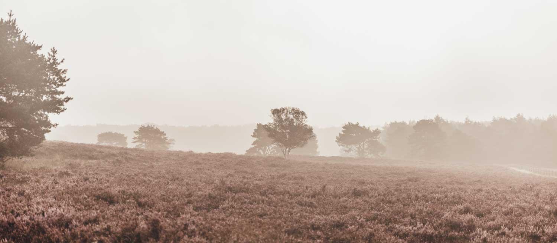 Elspeetse Heide | heide in bloei | zonsopgang | Veluwe
